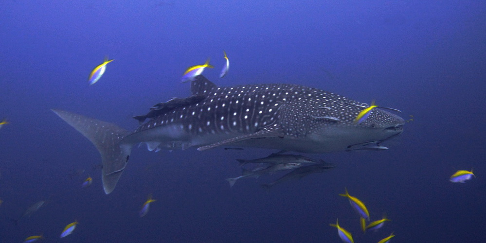 Similan islands whale shark season