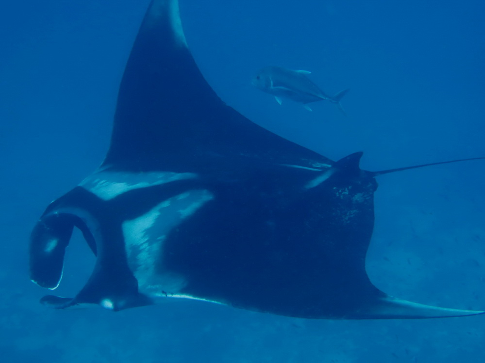 Similan Dive Guide Manta ray